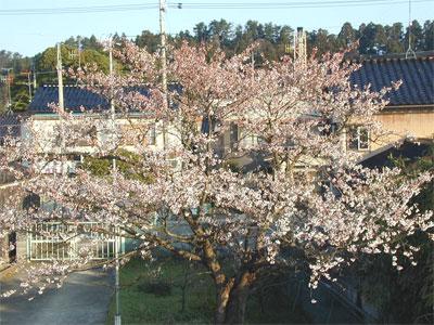 04/14桜の木
