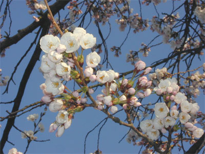 04/14桜咲く
