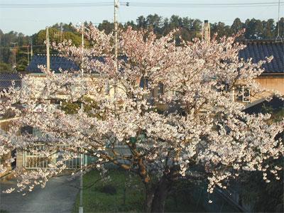 04/15桜の木