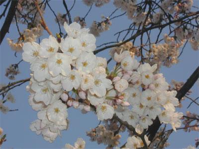 04/15桜満開間近