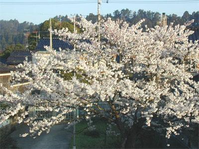04/16桜の木