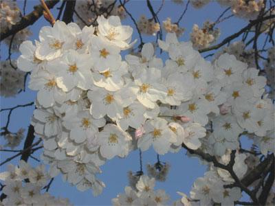 04/16桜満開