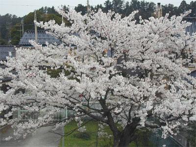 04/17桜の木