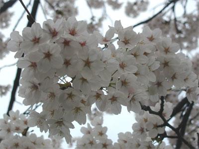 04/17桜満開