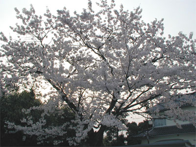 04/18桜の木