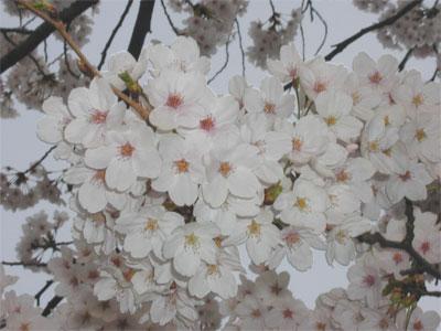 04/18今朝の桜