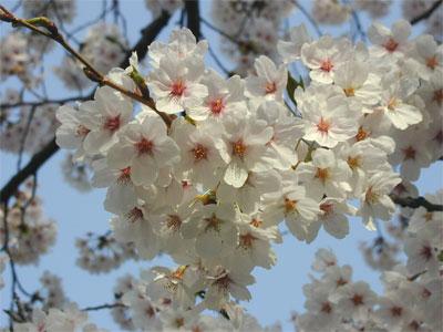 04/19桜の花
