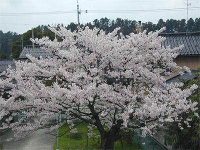 04/20桜の木