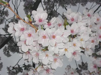 04/20今朝の桜