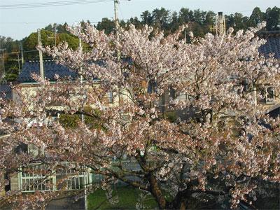 04/21桜の木