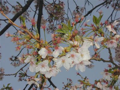 04/21桜散る