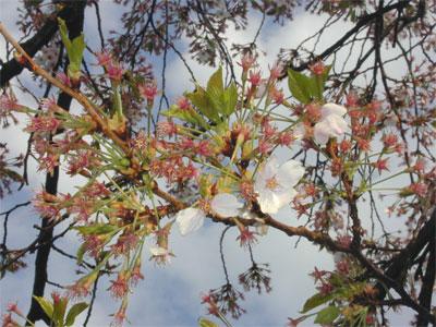 04/22桜散り果て