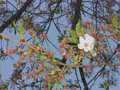 04/23葉桜