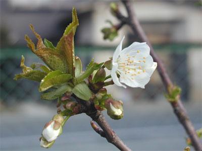 04/23桜の花2