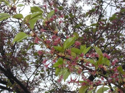 04/26葉桜