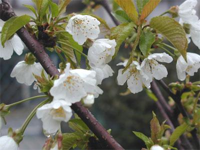 04/26桜の花2