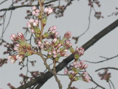 04/11桜のつぼみ