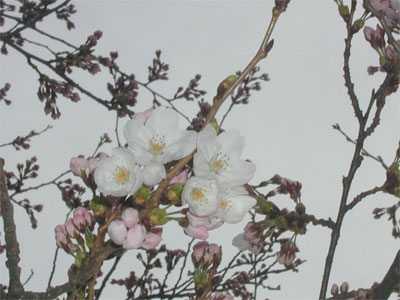 04/12桜の花