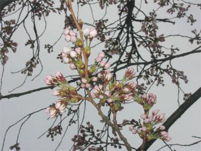 04/12桜のつぼみ