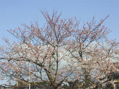 04/13桜の木
