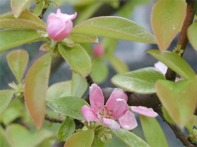 05/02花梨の花#2