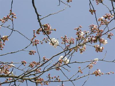 04/12 サクラ咲き始め