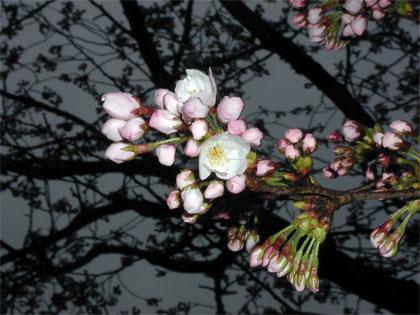 04/13 サクラの開花