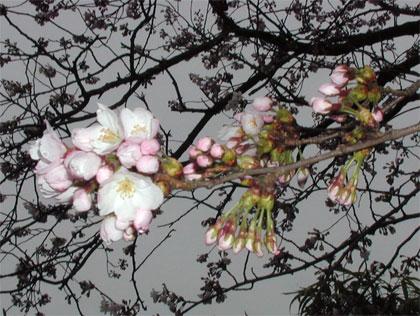 04/14 サクラ開花進む