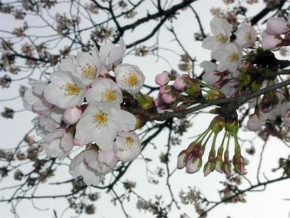 04/15 サクラの開花進む