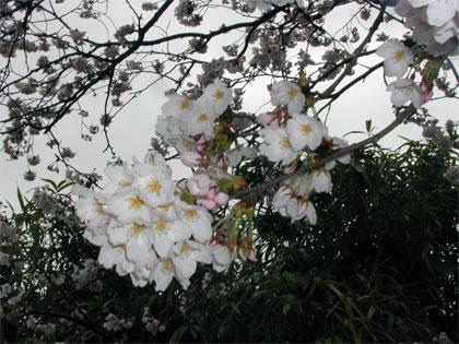 0416-sakura1.jpg