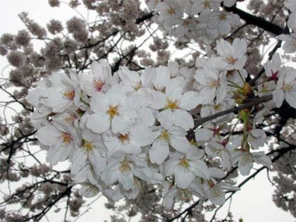0419-sakura.jpg
