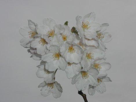 04/15sakura-2.jpg