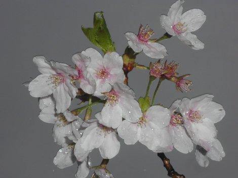 0422sakura-1.jpg