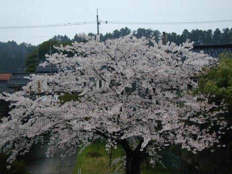 0422sakura-3.jpg
