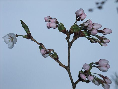 04/17 桜