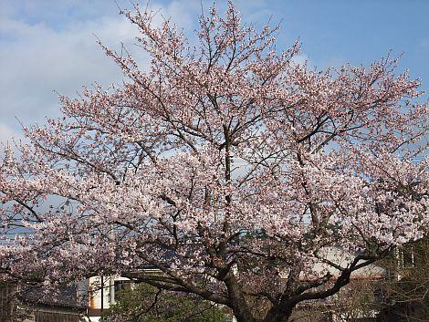 04/18 桜-2