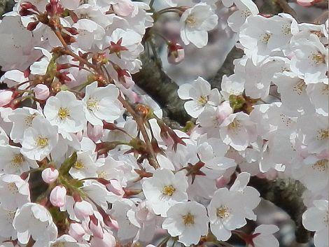 04/19桜-3