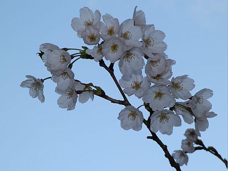 04/19桜