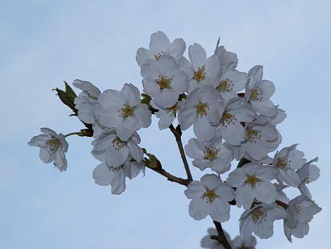 04/20桜 1