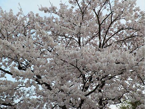 04/20桜 2.jpg