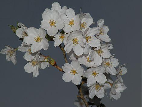 04/21桜 1