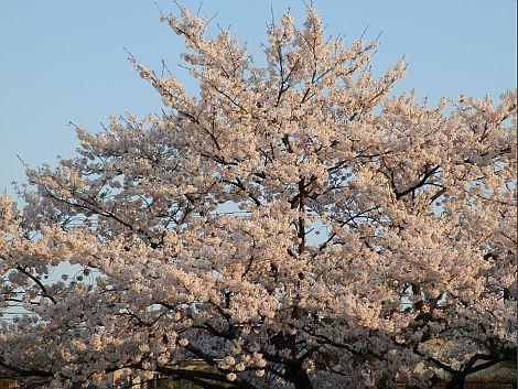 04/21桜 2