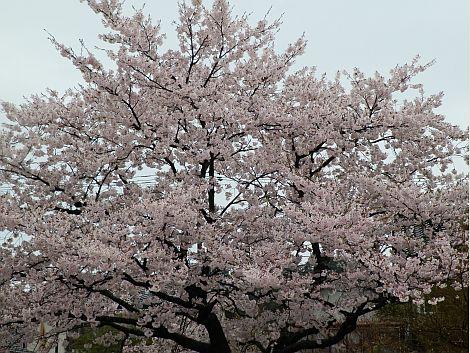04/23桜