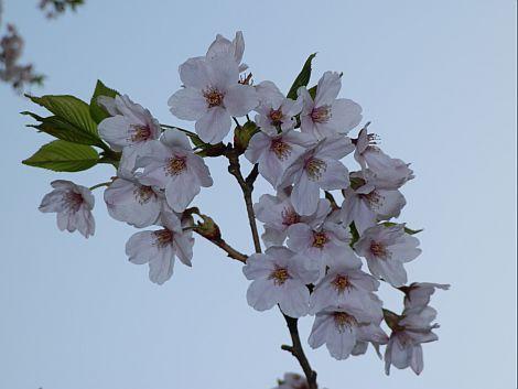 04/24桜 1