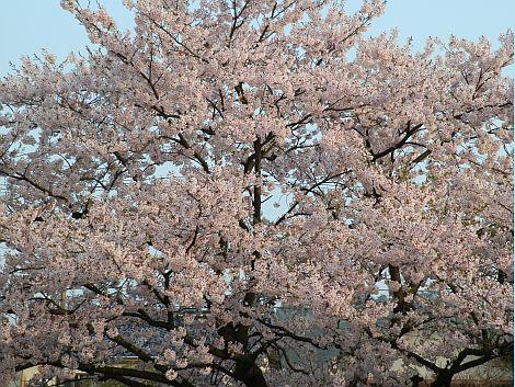 04/24桜 2