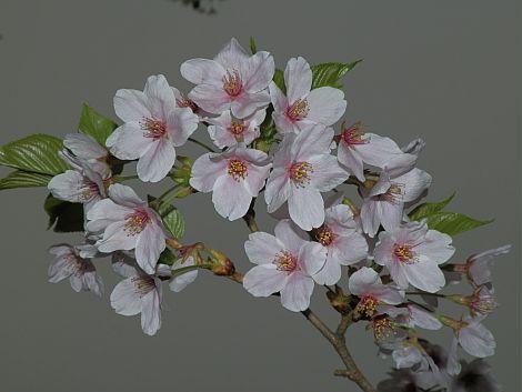 04/25桜 1