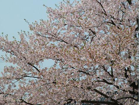 04/25桜 3