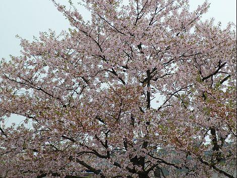04/26桜 1