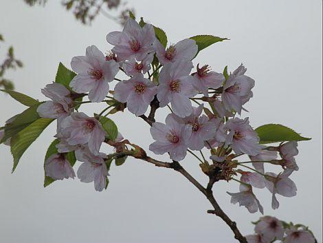 04/26桜 2