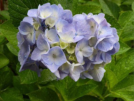 07/07紫陽花